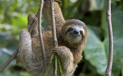 The master of passive income.  The majestic three toed sloth.