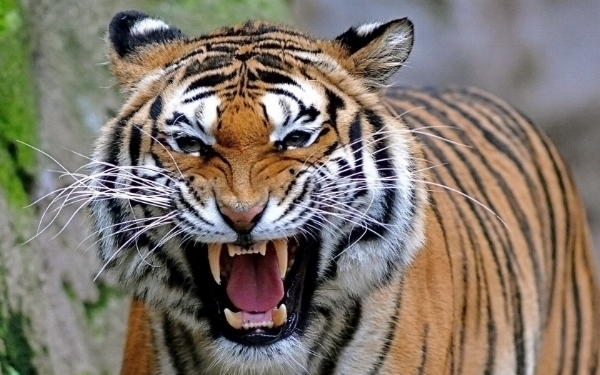 The Bengal Tiger - the power animal of aggressive income.  You gotta kill to survive.  If you stop, you die (unless you have passive income).