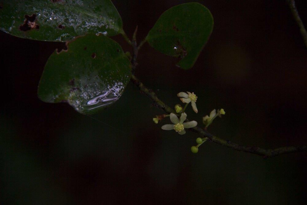Horopito Flower, Hukutaia, Waioweka, October 2016*