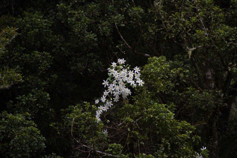 Puawhananga (clematis), Whanganui National Park, September 2017