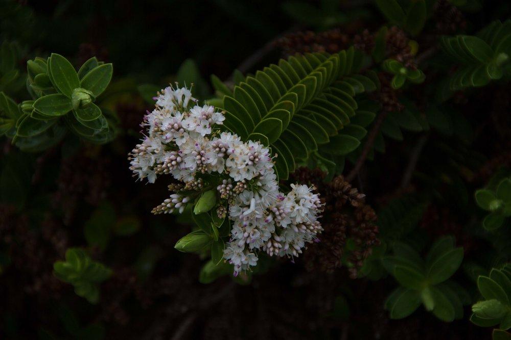 The Hebe is a Sacred Plant Tracing Back to Hokianga (for Rangihiroa), Whare Whakapono, Whanganui, 2017