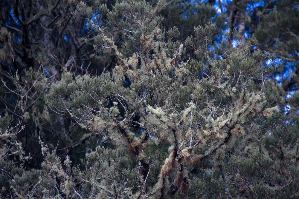 Tree with moss, Whanganui, 2017