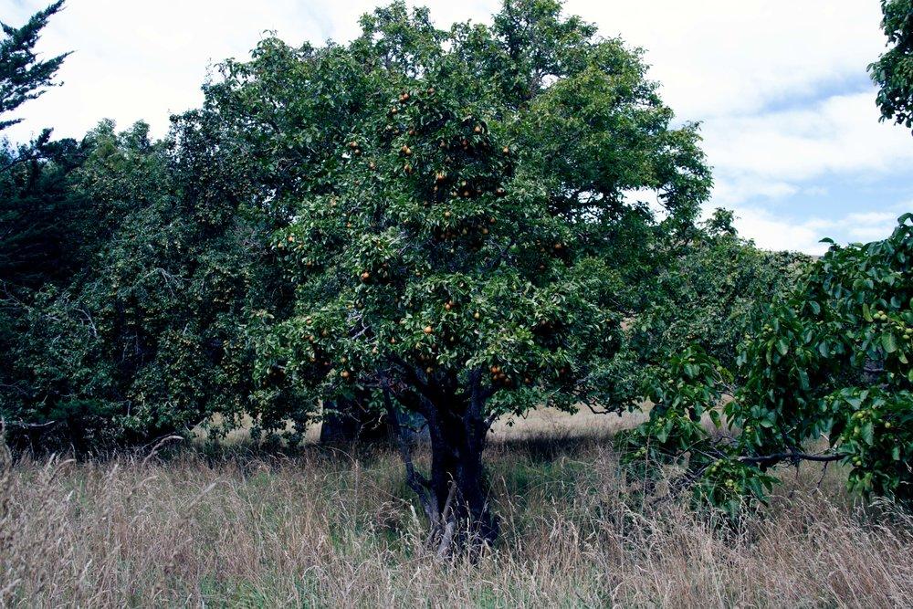 Pear Tree, Akaroa, 2018*