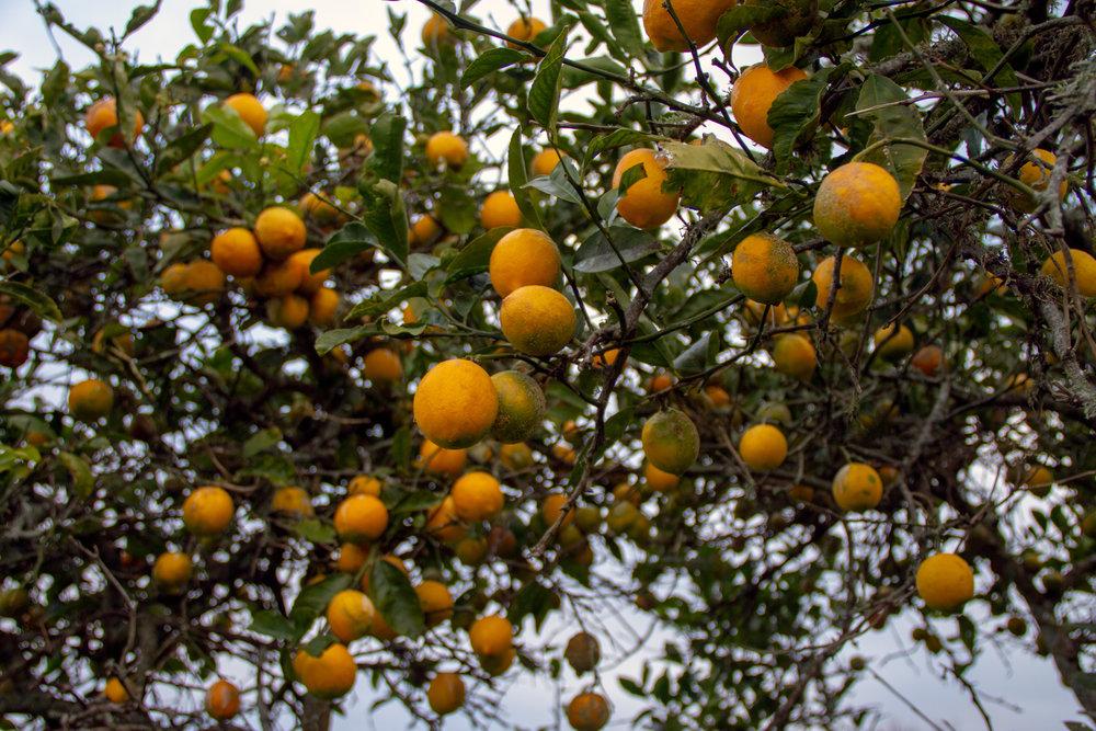 Lemon Tree, Wahapakapaka, 2018