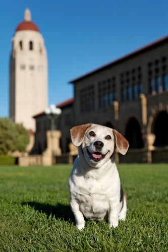 Trini, the wonderbeagle, on a family visit to Stanford in 2010. We miss this smiling girl!