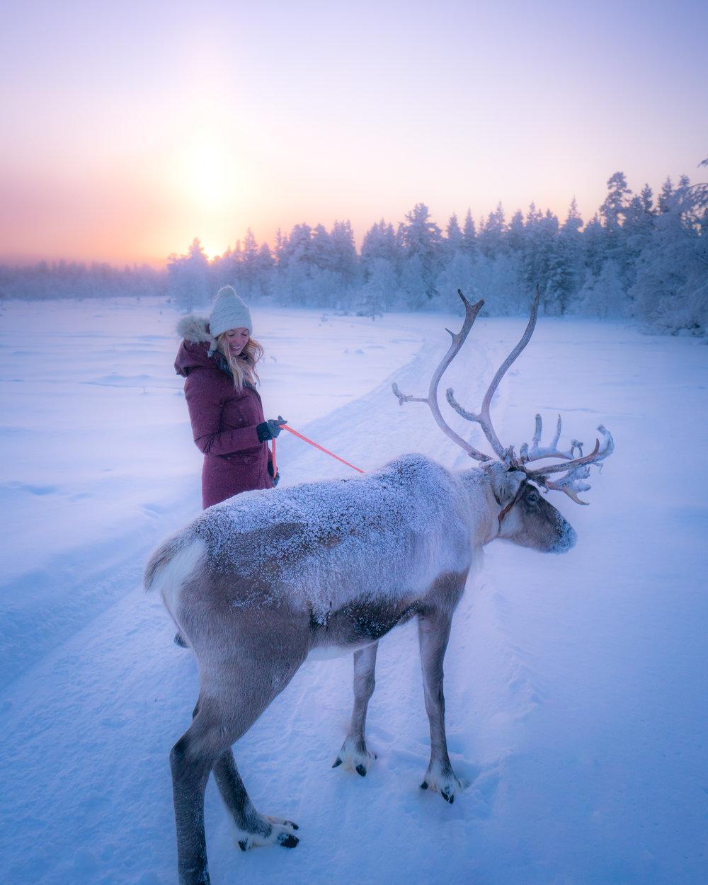 reindeer in lapland finland