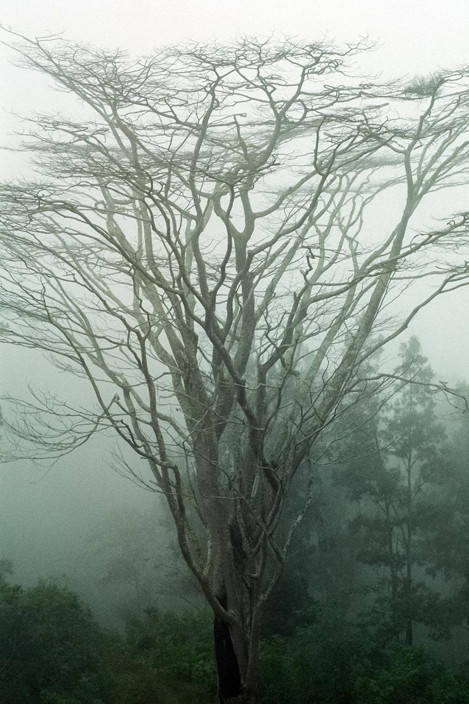 east_timor_tree_through_mist.jpg