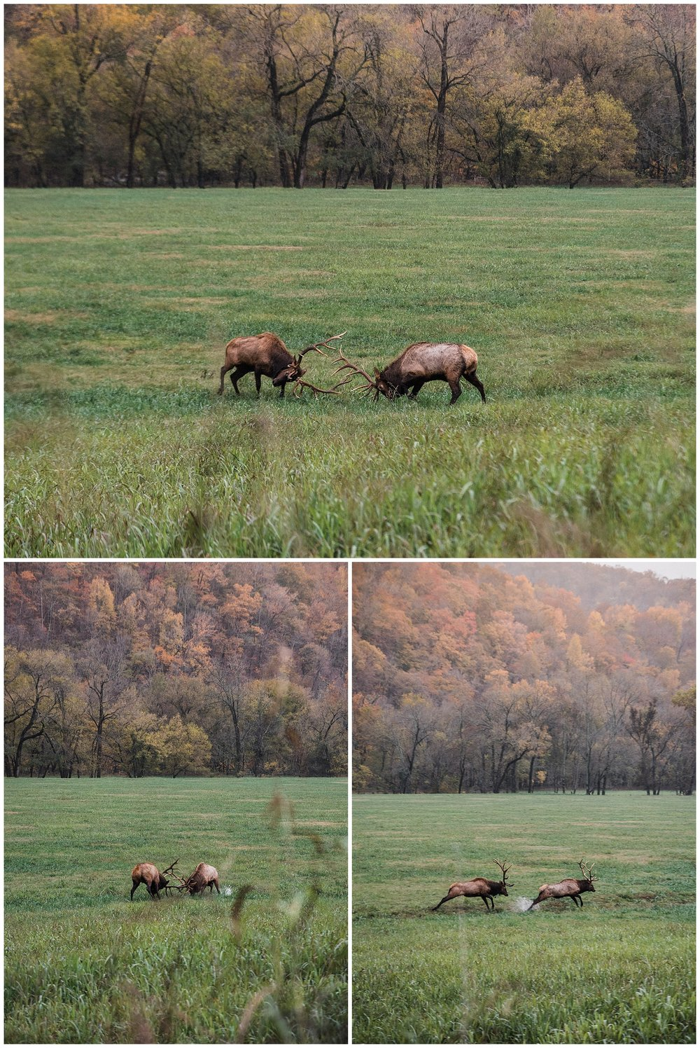 bull elk fight in boxley valley tanner burge photo