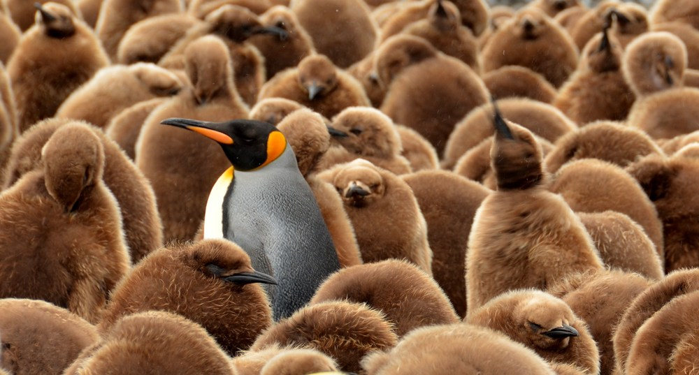 King Penguin Adult Among Chicks