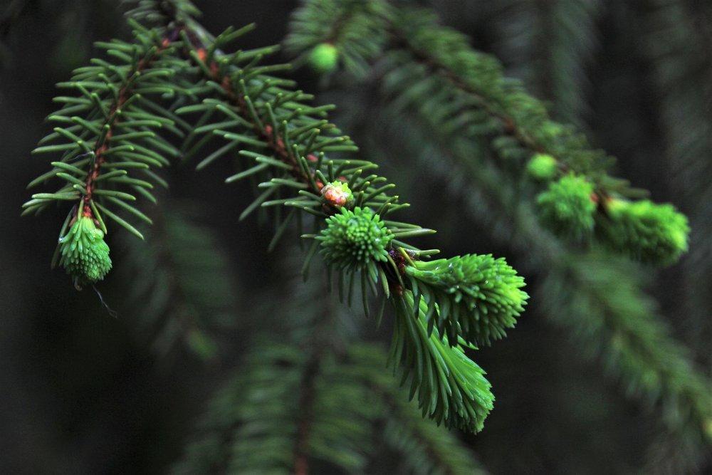 spruce-2518877_1920.jpg