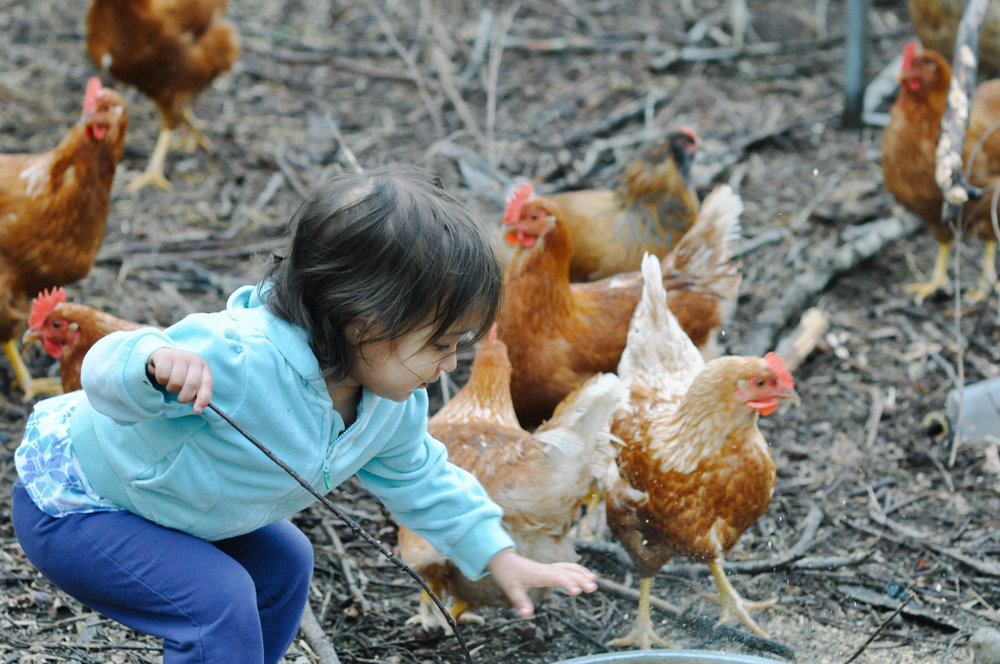 redtree farmstead chickens and children.jpg