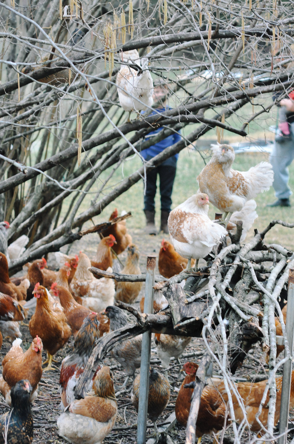 redtree farmstead chickens.jpg