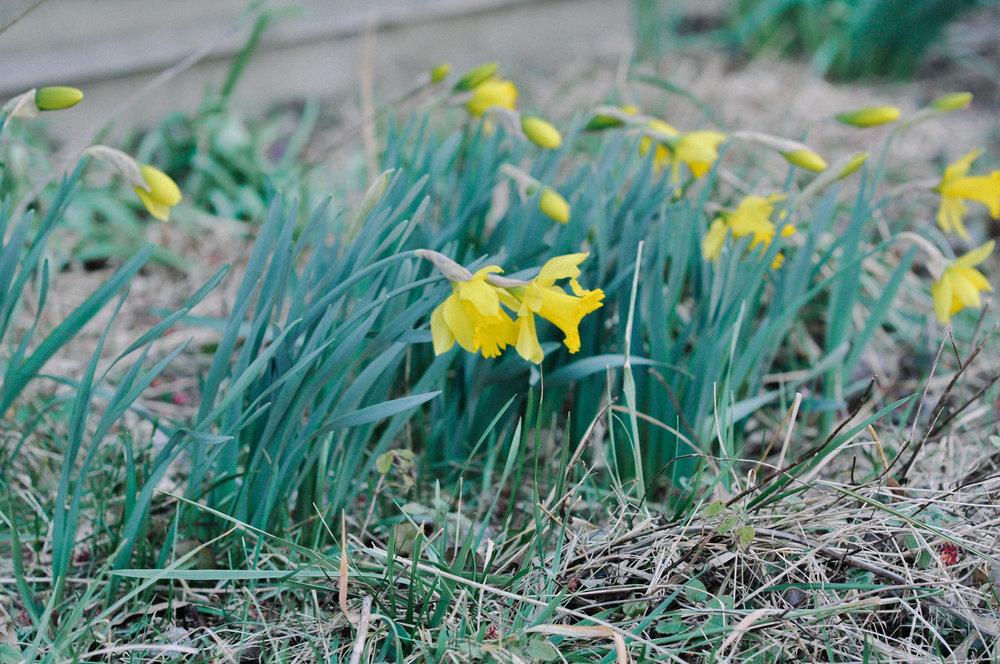 redtree farmstead daffodiles.jpg