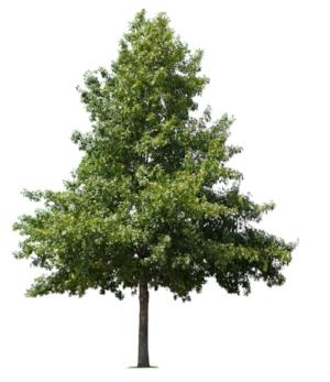 pin-oak.jpg