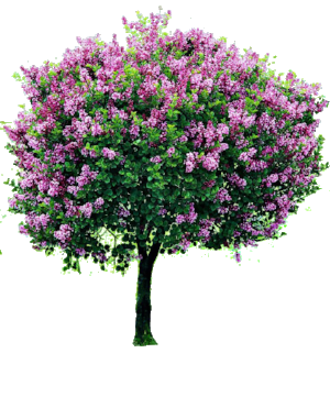 lilac tree 3.png
