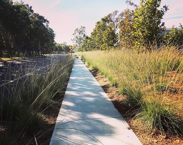 Who needs 2-acres of lawn when you can have a native low-water grassland? #replaceyourlawn