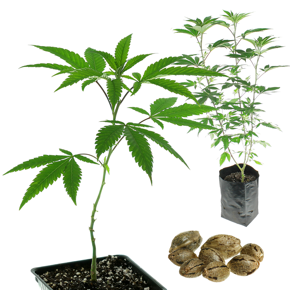 CBD Seeds & Clones