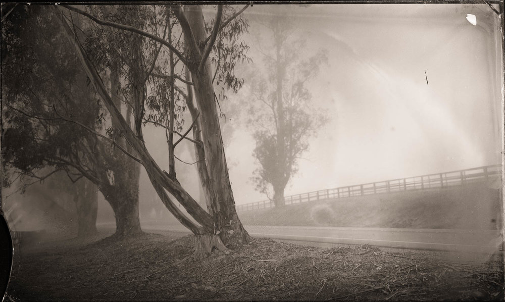 Eucalyptus in Fog, California - By: Christopher Erin  www.christophererin.com