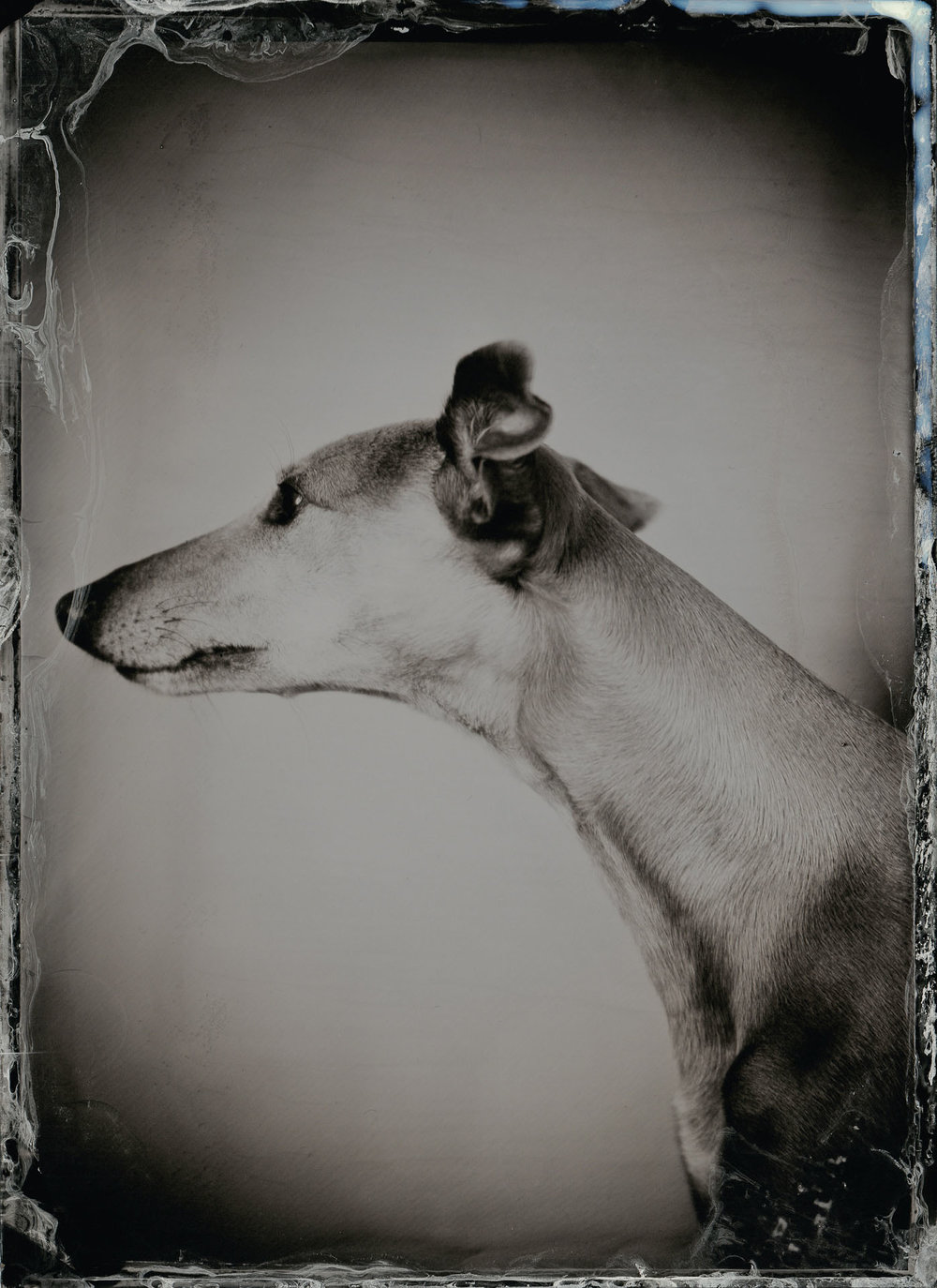 Olive (The Whippet) - By: Rikard Österlund  www.rikard.co.uk
