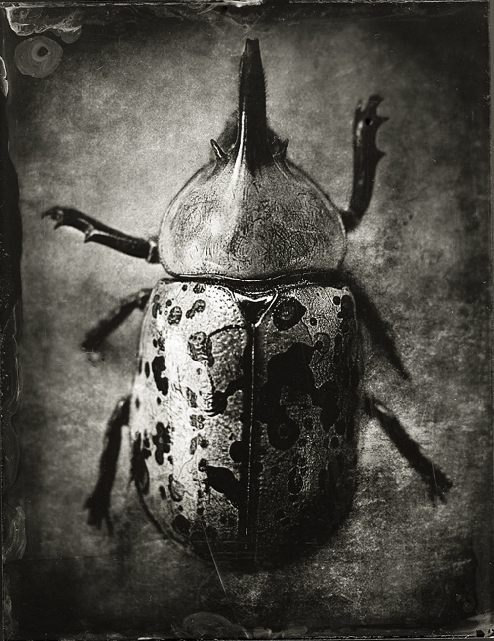 "Beetle - By: Gary Geboy  www.garygeboyphotography.com   I was working on a project called ""Organics"", shooting found flora and printing primarily on platinum/palladium, when I came across this little gem: a rhinoceros beetle.  He was quite fragile, having been lying in the street for some time before I came along. And what better way to preserve such fragility than through another fragile medium: wet plate collodion.  My experience was limited with collodion, but I had a beat-up, full plate camera and plenty of glass. Luckily, with my coke-bottle lens and just-long- enough bellows, I could get a nice enlargement. After a number of tries, I hit it and the result is this beautiful specimen preserved forever. The plates after that where ok, but this was the one. A little while later I had a solo show of my Organics series and a number of plates from the series as well. Unfortunately, on the last day of the show, someone ripped the beetle from the wall and it has never been seen since.  Winning the prize for best still life has a double satisfaction for me. First, it's always a great honor to be recognized for the effort put into images. Second, through this prize, a gem of a creature gets the last word – no thief can steal true beauty."