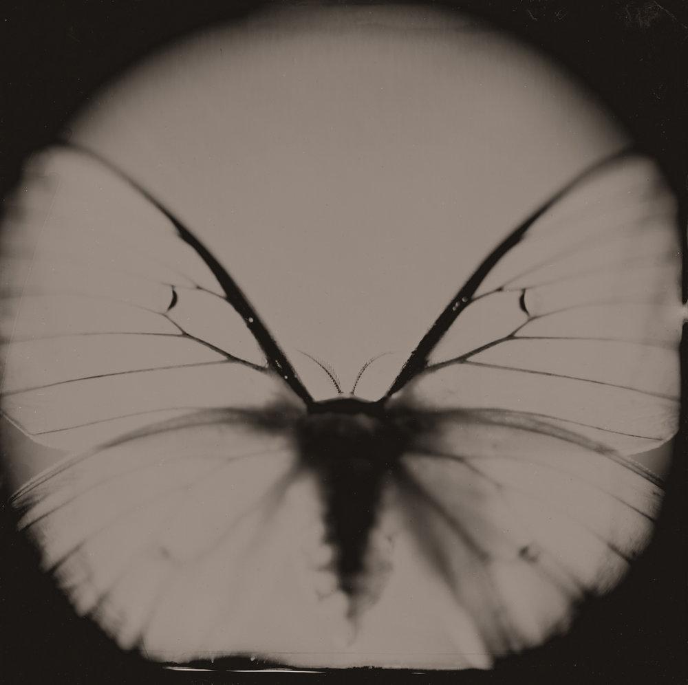 Giant Moth By: Christopher Erin  www.christophererin.com