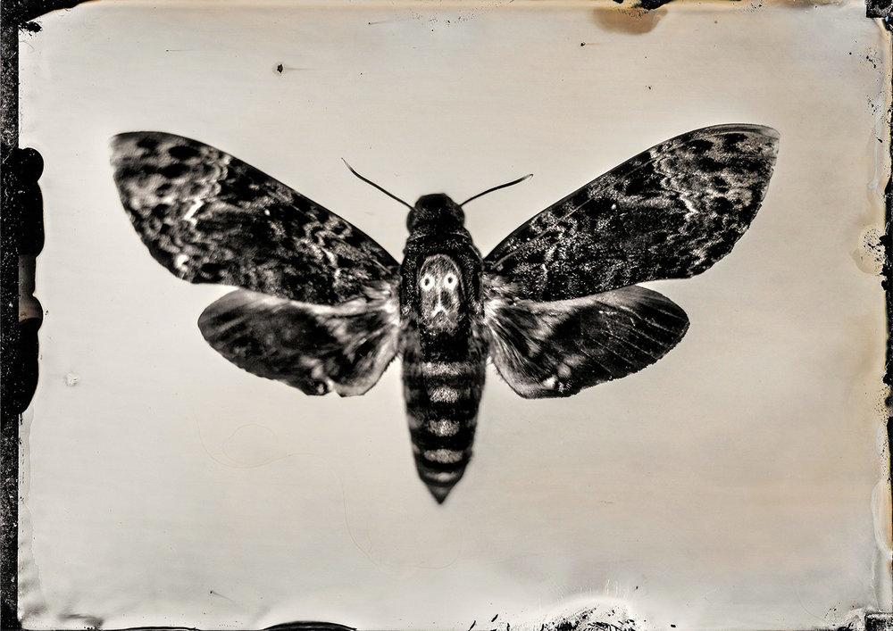 Death's Head Moth 5.4.18 By: Michael Marano  www.973studio.com