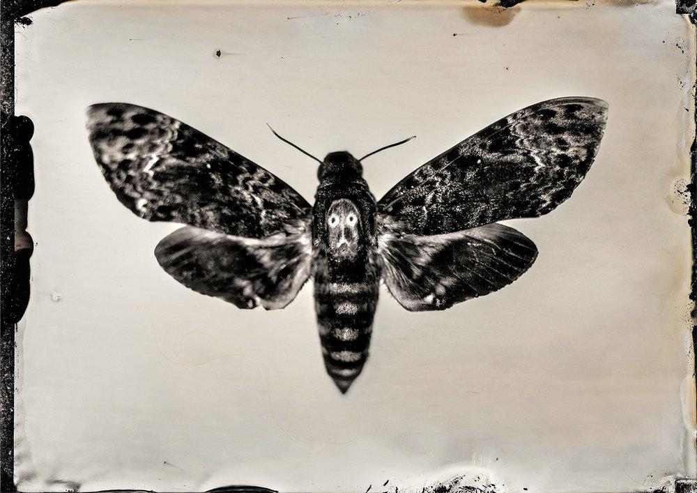 Death's Head Moth 5.4.18 By: Michael Marano  www.973studio.com