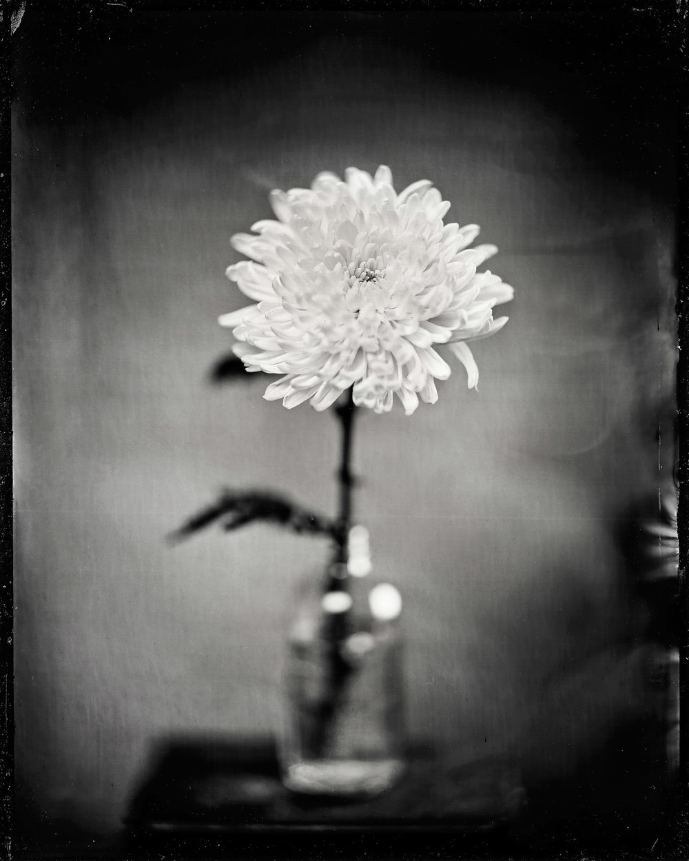 Title : Chrysanthemum 12.29.18 By: Michael Marano    www.973studio.com