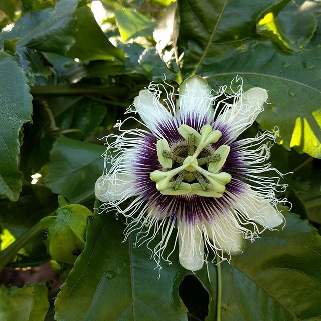 Passion fruit flowers spotted at the Stepladder Ranch