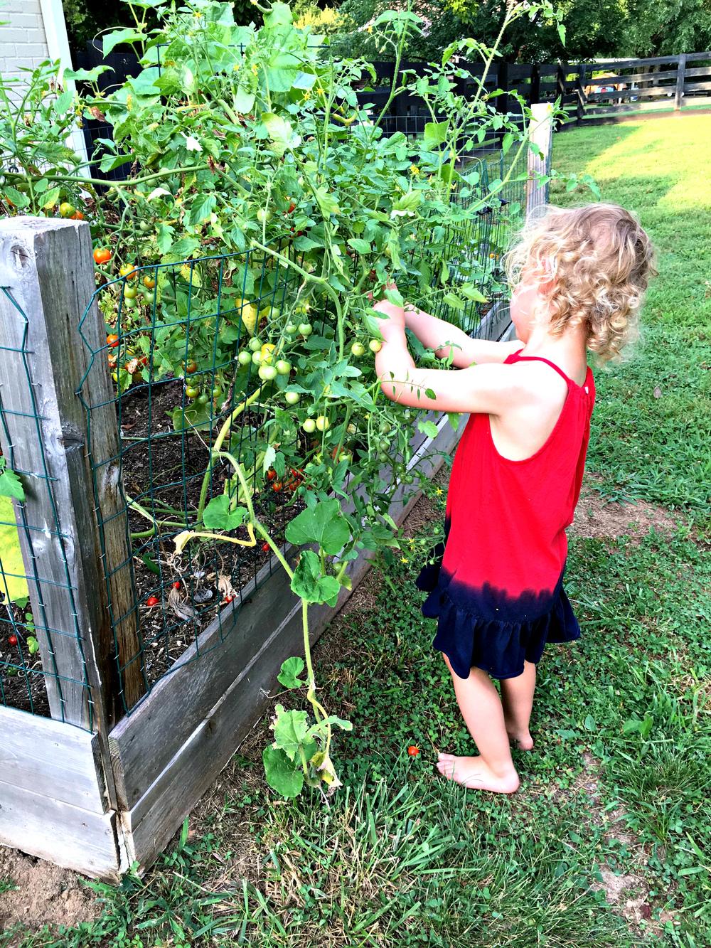 Hattie picking tomatoes July 2016