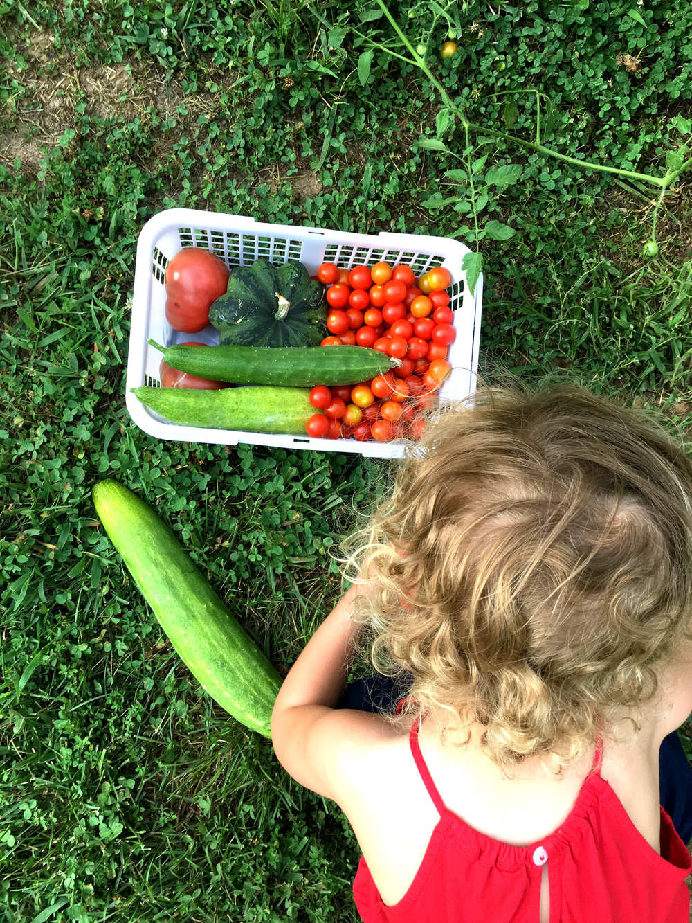 Hattie picking tomatoes 2 July 2016