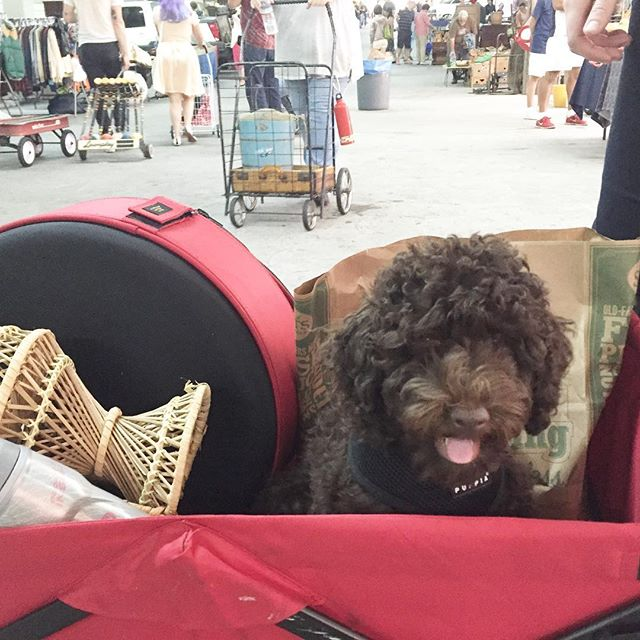 We got a lot of attention at he flea market this morning. @beaniedoodle