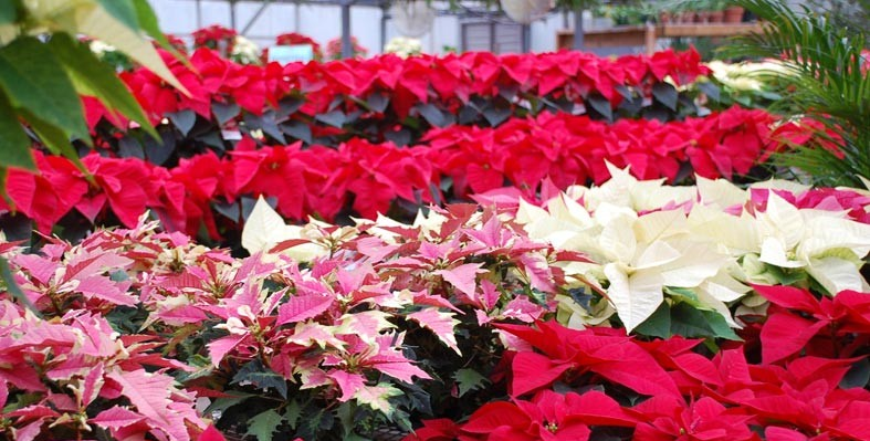 poinsettia-sale.jpg