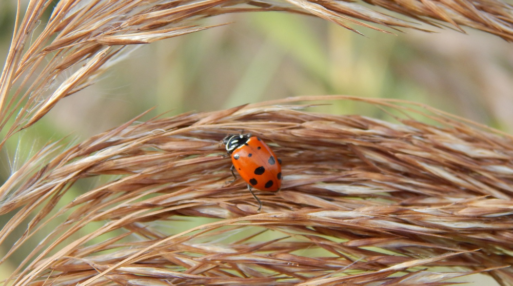 A lady bug grazing for aphids on wheat.
