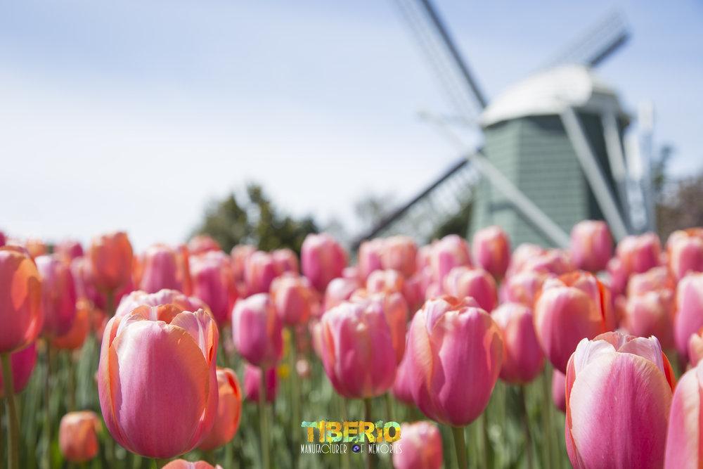 Tulip Festival 2.jpg