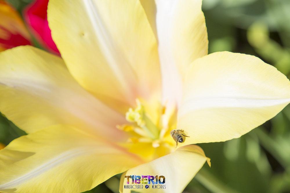 Tulip Festival 4.jpg