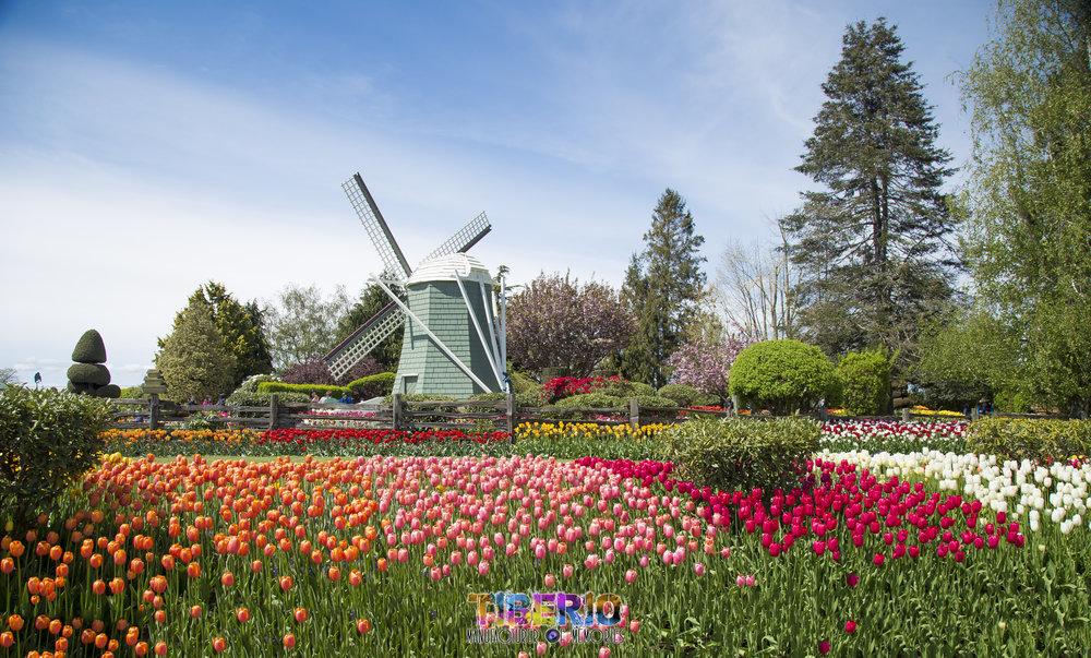 Tulip Festival 5.jpg