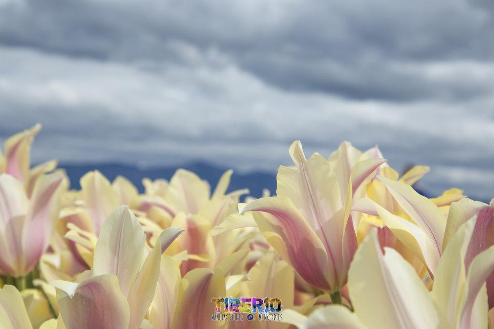 Tulip Festival 11.jpg