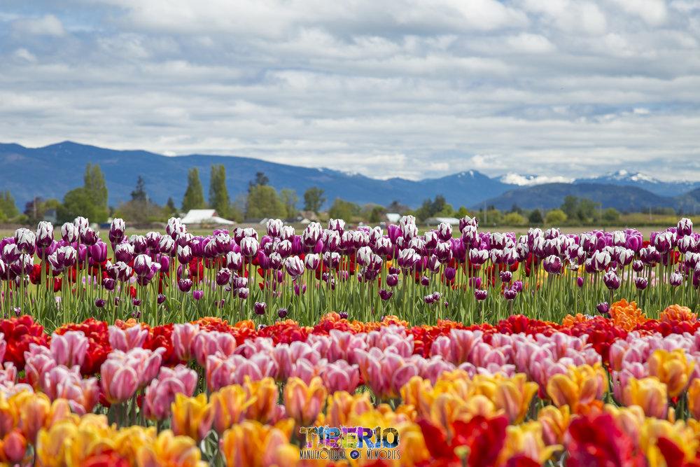 Tulip Festival 9.jpg