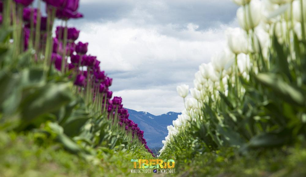 Tulip Festival 13.jpg