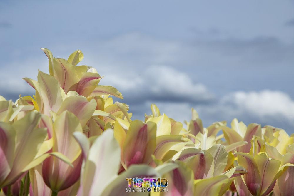 Tulip Festival 15.jpg