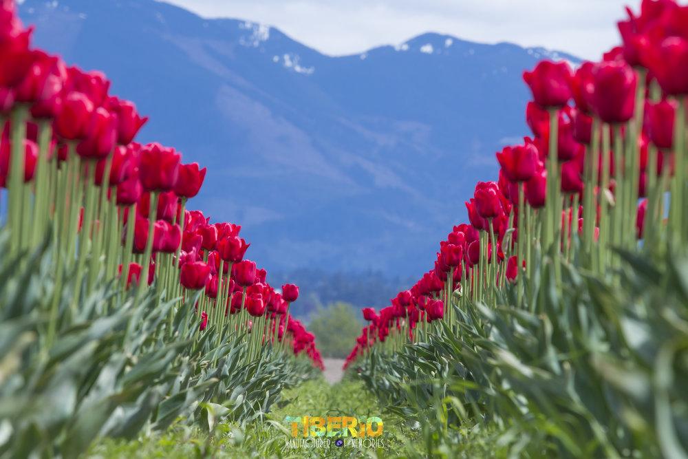 Tulip Festival 25.jpg