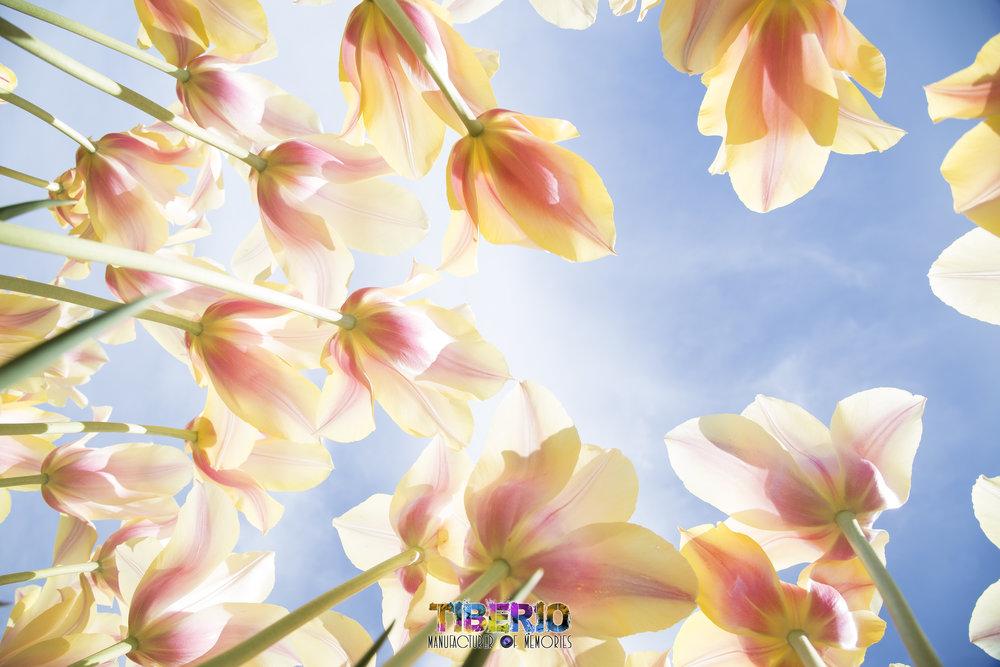 Tulip Festival 27.jpg