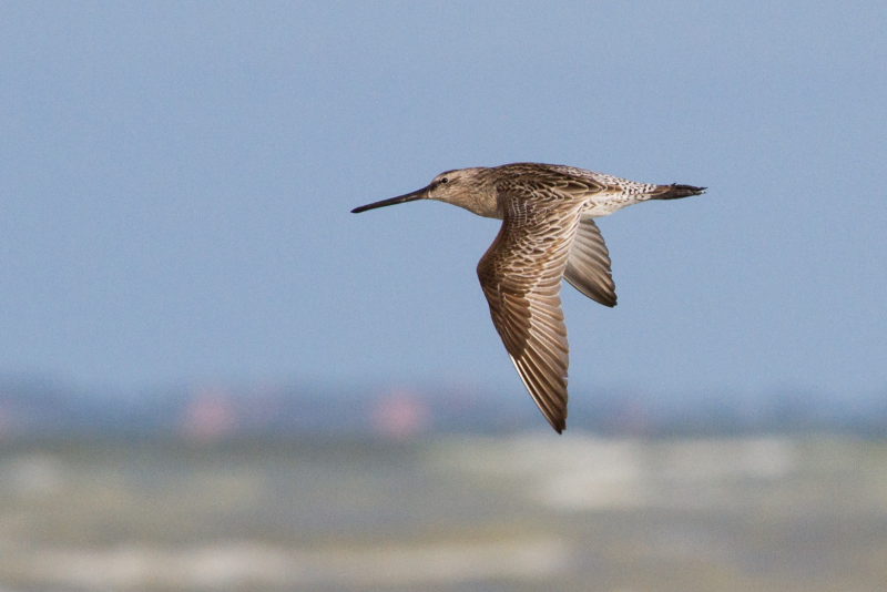 Asian Dowitchers are usually found here among flocks of Black-tailed and Bar-tailed Godwits. Photo: Ric Else 2015