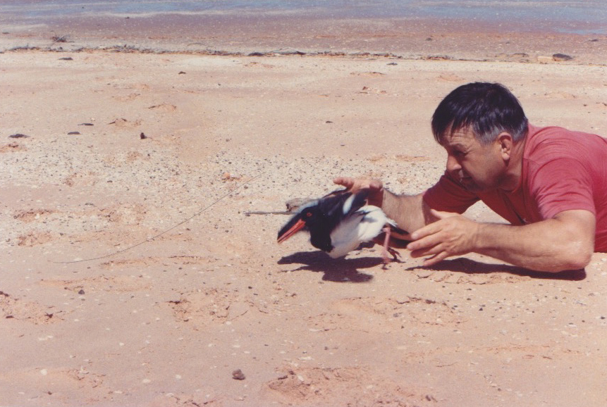 Dr Clive Minton releasing a Pied Oystercatcher - photographer unknown