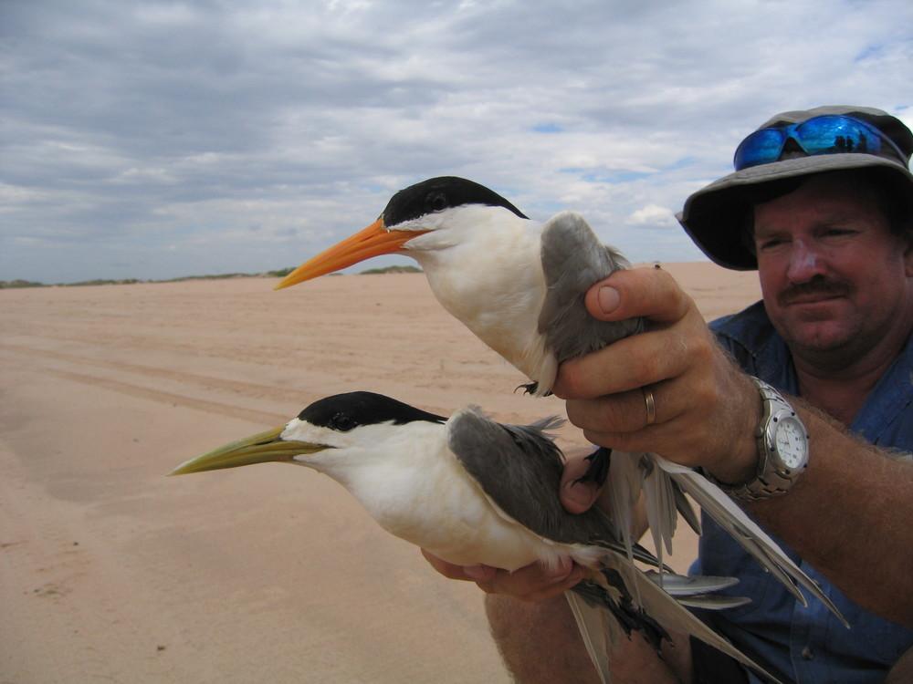 Crested & Lesser Crested Tern4968.JPG