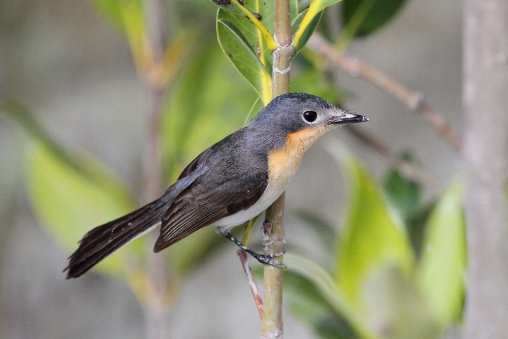Broad-billed Flycatchers are resident within the mangroves near the Broome Bird Observatory. Image: © 2013 Ric Else.