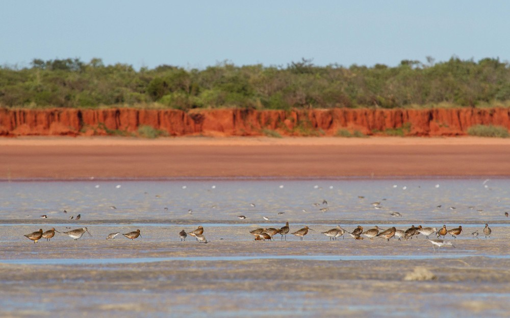 Bar-tailed Godwits lining up in Roebuck Bay, about to take off and begin their marathon flight. Photo: Ric Else 2015