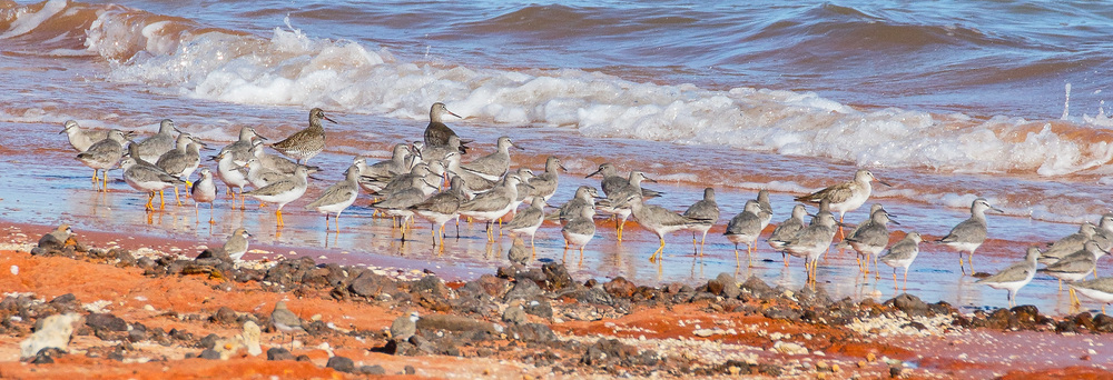 Three Common Redshanks (at the back), including a stunning adult in full-breeding plumage! Photo: Athena Georgiou