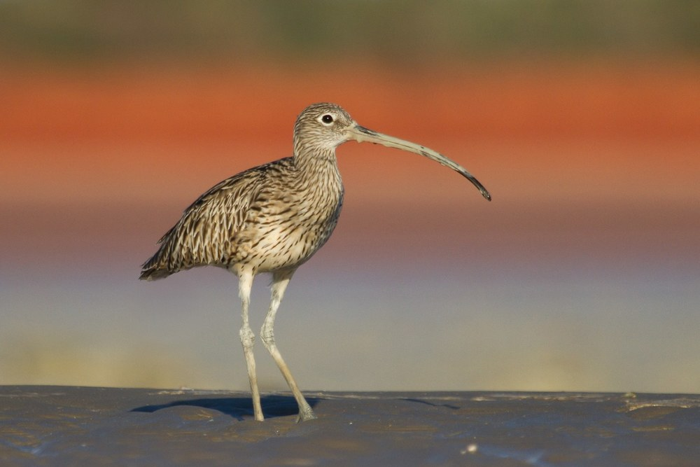 An Eastern Curlew on the mudflats of Roebuck Bay. Photo: Nigel Jackett